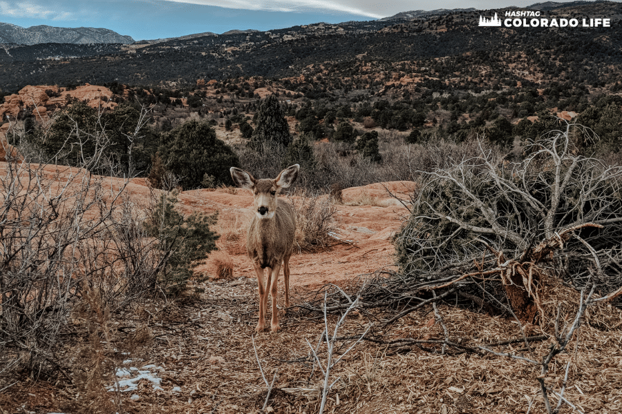 wild deer at garden of the gods