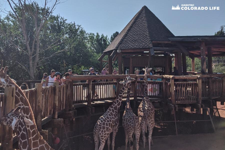 cheyenne mountain zoo - giraffe encounters