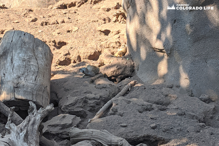 cheyenne mountain zoo - meerkats